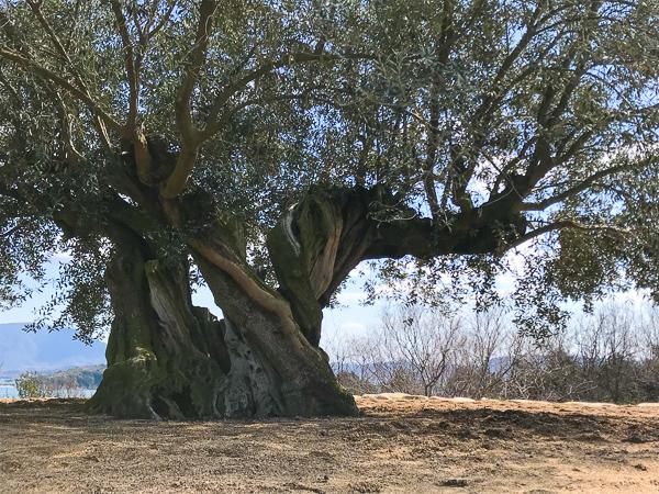 オリーブ大樹